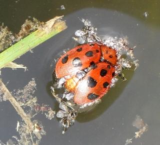 Not_a_ladybug