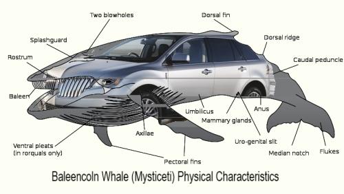 Baleencoln