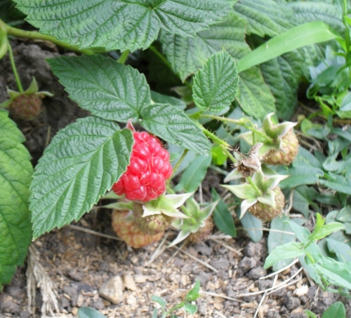 Raspberry2012